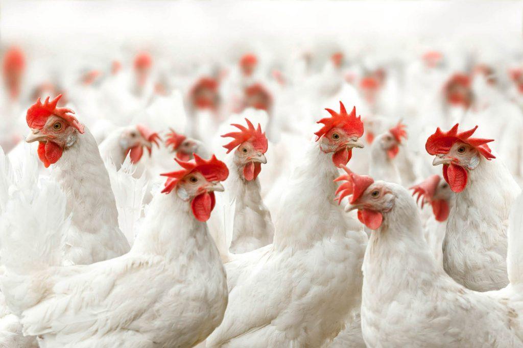 Kippen wit